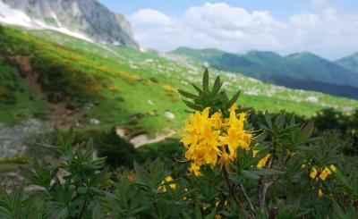 Жёлтый рододендрон на Черкесском перевале